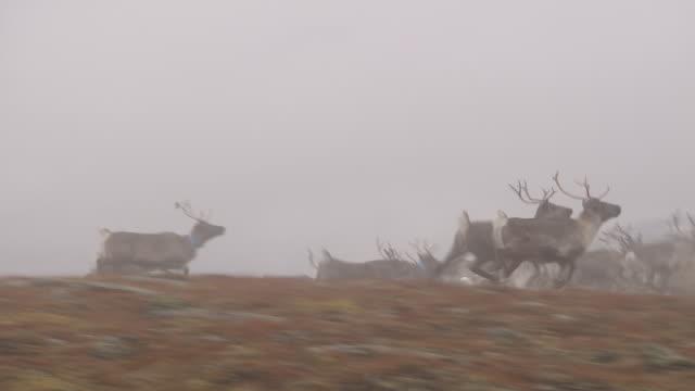 a herd of reindeer runs across hills near tromso, norway.  - vaja bildbanksvideor och videomaterial från bakom kulisserna