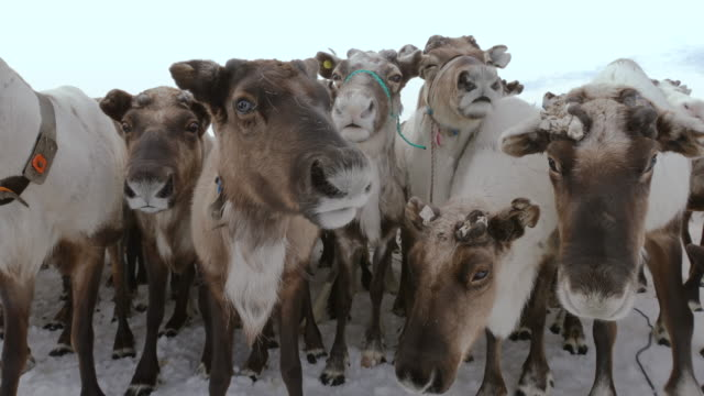 herd of reindeer - deep snow stock videos & royalty-free footage