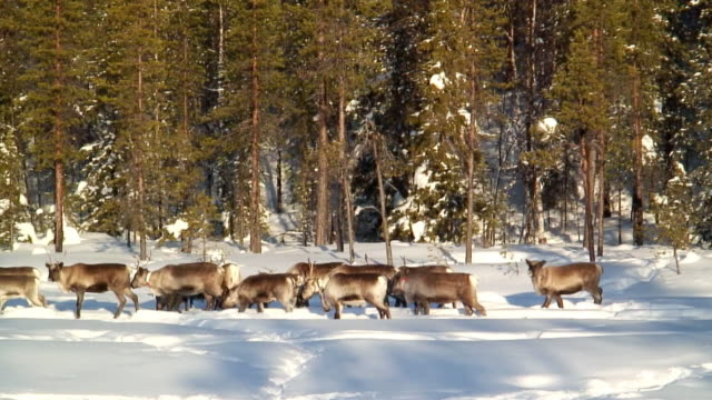 ws pan herd of reindeer walking in snow / jokkmokk, norrbotten province, sweden - peter snow stock videos & royalty-free footage