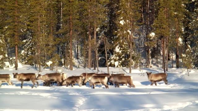 vídeos de stock e filmes b-roll de ws pan herd of reindeer walking in snow / jokkmokk, norrbotten province, sweden - peter snow