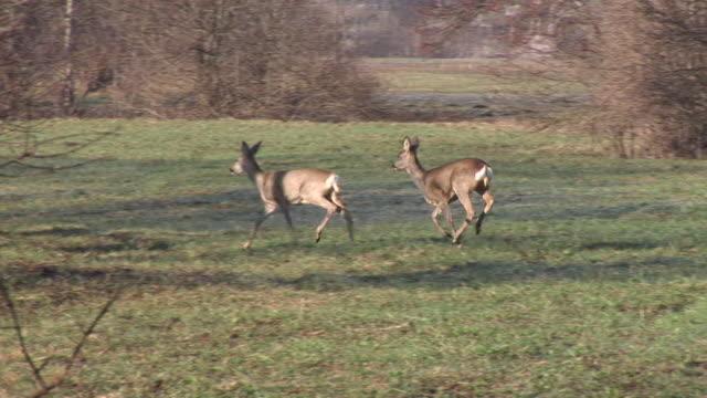 hd: a herd of roe deers - deer stock videos & royalty-free footage