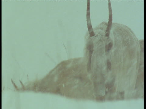 herd of saiga antelope in blizzard, central asia - antelope stock videos & royalty-free footage