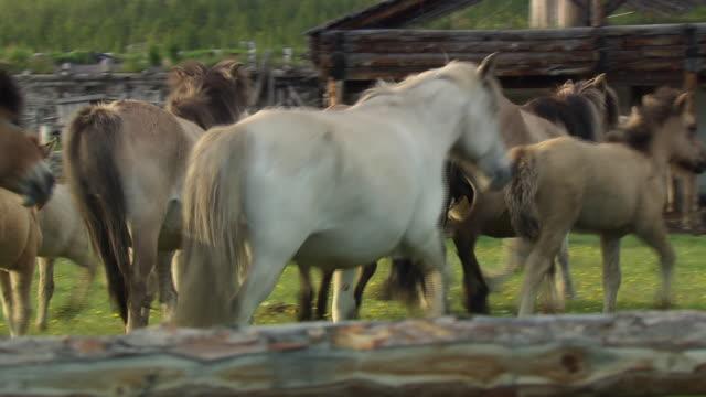 a herd of sakha horses trot around a field in the village of sakkyryr.  - pferch stock-videos und b-roll-filmmaterial