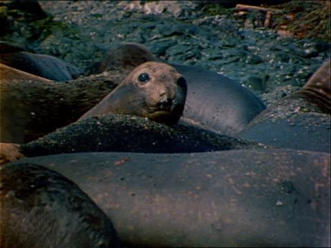 a herd of seals rests on a beach. - wassersäugetier stock-videos und b-roll-filmmaterial