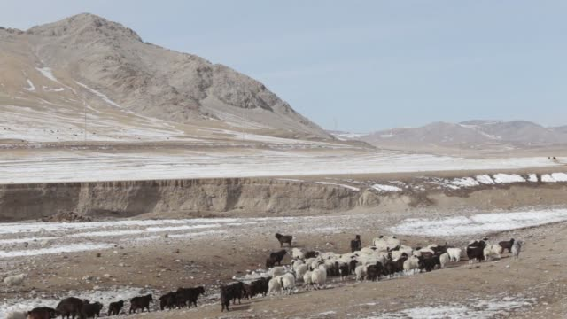 herd of sheep and goats graze in murun, khovsgol province, mongolia, on friday, march 10 a shepherd collects water from a well in tosontsengel,... - livestock stock videos & royalty-free footage