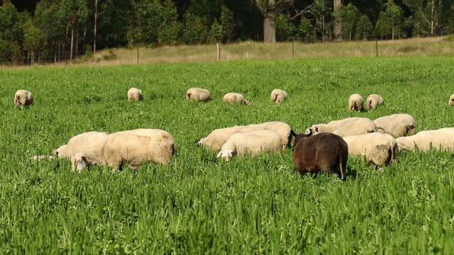 herd of sheep at pasture at pecora dairy farm in knights hill, new south wales. australia's economy is recovering strongly and sentiment and hiring... - 放牧地点の映像素材/bロール