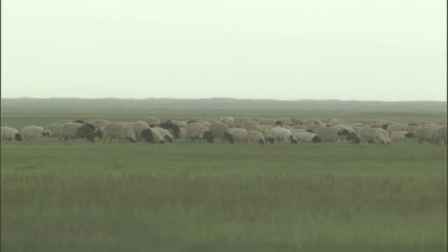 vídeos y material grabado en eventos de stock de herd of sheep, bayanbulak grasslands - oveja merina