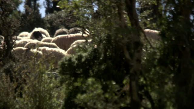 a herd of sheep climbs a hill in greece. - ovino video stock e b–roll