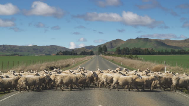 ws, herd of sheep crossing rural road, near te anau, south island, new zealand - new zealand stock videos & royalty-free footage
