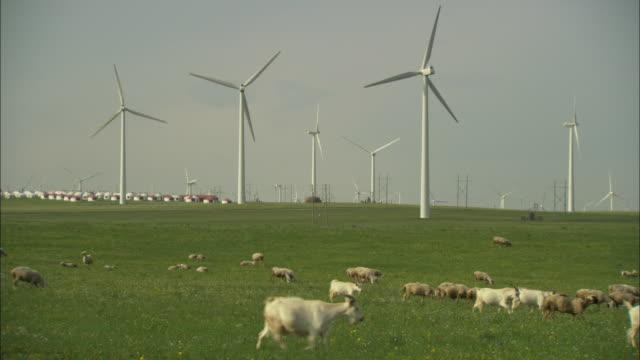 WS Herd of sheep grazing in field in front of wind turbines, Huitengxile, Inner Mongolia, China