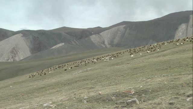 zi herd of sheep grazing on a steeply sloping mountainside / mongolia - gregge di pecore video stock e b–roll
