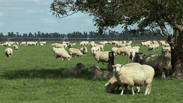 ws herd of sheep grazing on green field / canterbury, new zealand - new zealand点の映像素材/bロール