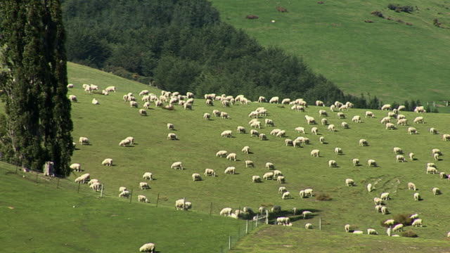 ws herd of sheep grazing on green hills / canterbury, new zealand - new zealand点の映像素材/bロール