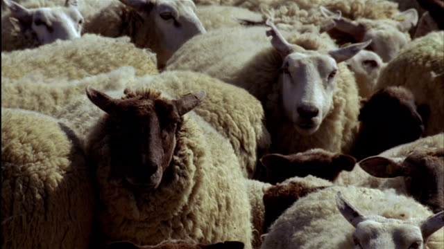 close up pan herd of sheep huddle together - flock of sheep stock videos and b-roll footage