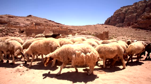 vídeos de stock e filmes b-roll de a herd of sheep in petra, jordan - arcaico