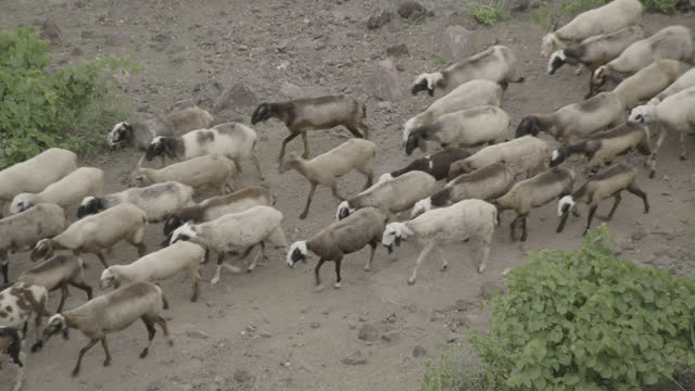 herd of sheep, india - arrangement stock videos & royalty-free footage