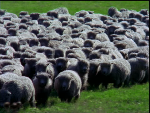 Herd of sheep running in green field / Santa Catarina Island, Brazil
