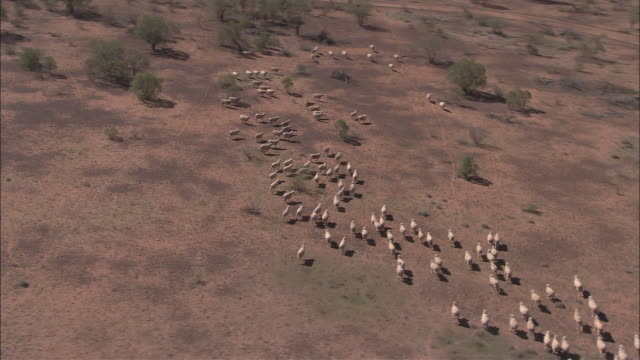 AERIAL Herd of sheep running through desert landscape, Tinnenburra Sheep Station, Queensland, Australia
