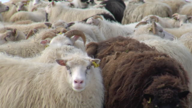 stockvideo's en b-roll-footage met cu herd of sheep stand on snow covered ground before rettir / skagafjorour, nordhurland vestra, iceland  - wiese