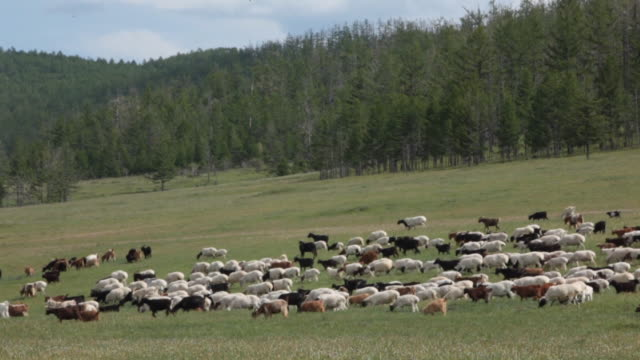 herd of sheeps and goats - flock of sheep stock videos & royalty-free footage