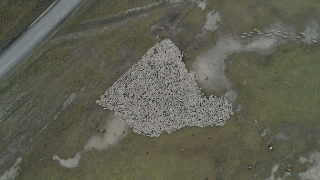 vídeos de stock e filmes b-roll de herd of sheeps are moved along the road by gauchos at sunrise - gaúcho