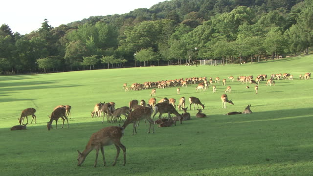 a herd of sika deer - nara prefecture stock videos and b-roll footage