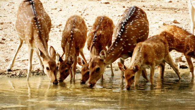 a herd of spotted deers drinking from a water pool - escaping stock videos & royalty-free footage