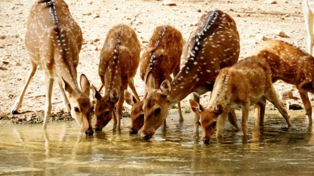 水プールから飲む斑点のある鹿の群れ - 逃げる点の映像素材/bロール