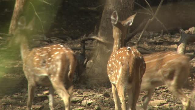 herd of spotted deers looks alert, running into woodland - wildlife stock videos & royalty-free footage