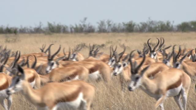 Herd of Springbocks