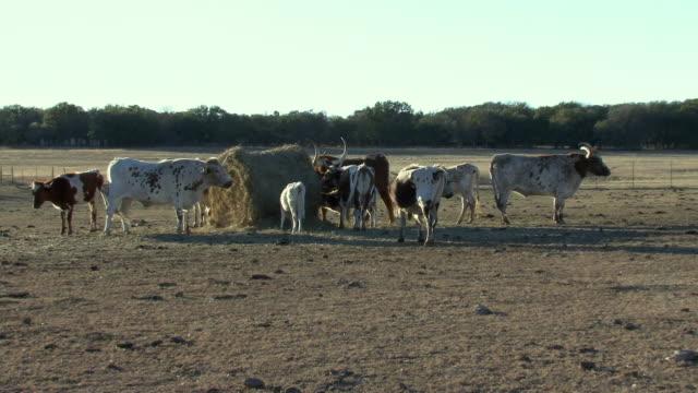 stockvideo's en b-roll-footage met ws herd of texas longhorn feeding in field / western texas, texas, usa - texas longhorn