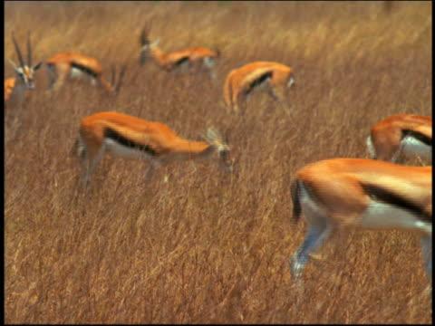 vídeos y material grabado en eventos de stock de herd of thomson's gazelles walking + grazing on grassy plain / serengeti, tanzania,  africa - animales de safari