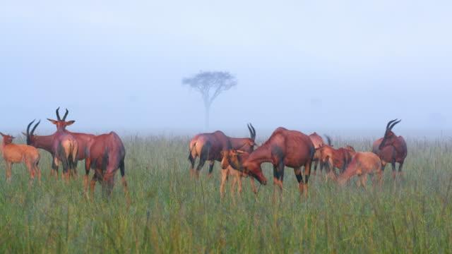 Herd Of Topi In Fog, Masai Mara, Kenya, Africa