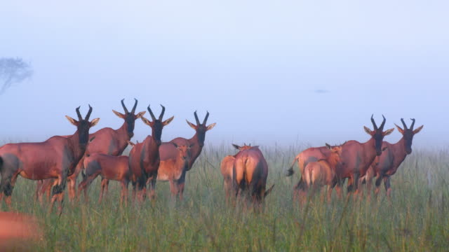 vídeos de stock, filmes e b-roll de herd of topi in fog, masai mara, kenya, africa - grupo médio de animais