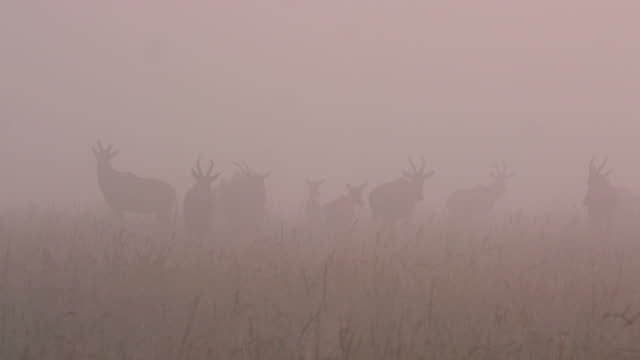 herd of topi in thick fog, masai mara, kenya, africa - grass area stock videos and b-roll footage