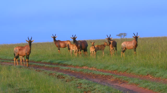 herd of topi observing masai mara  kenya  africa - antilope stock-videos und b-roll-filmmaterial
