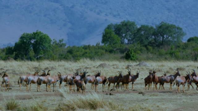 Herd Of Topi On Track Maasai Mara  Kenya  Africa