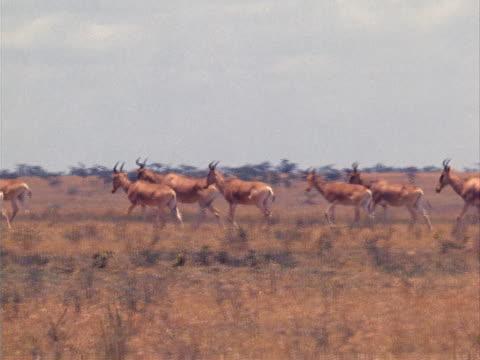 herd of topi - pflanzenfressend stock-videos und b-roll-filmmaterial