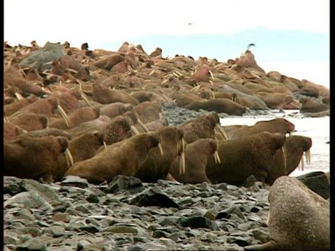 WA Herd of walrus lying on rocky beach, one pack entering water