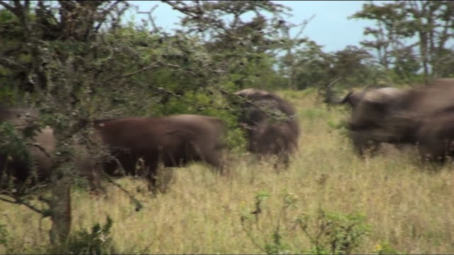 a herd of water buffalo charge across a grassy field. - water buffalo stock videos & royalty-free footage