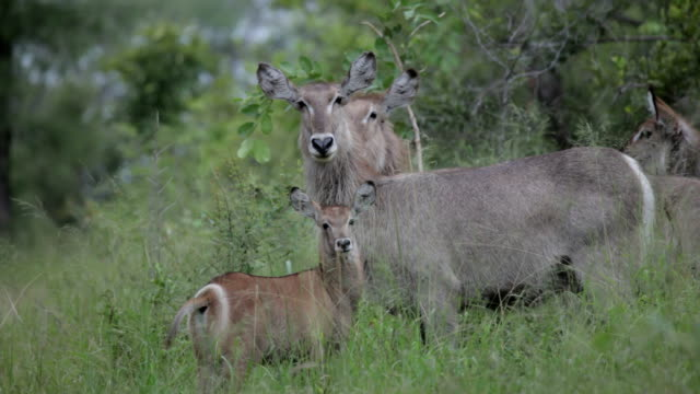herd of waterbuck in long green grass/ kruger national park/ south africa - provinz mpumalanga stock-videos und b-roll-filmmaterial