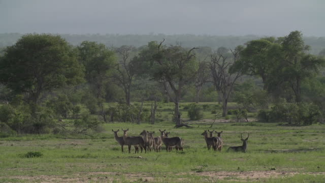 a herd of waterbuck stand in a beautiful open clearing in kruger national park, south africa - mpumalanga province stock videos and b-roll footage