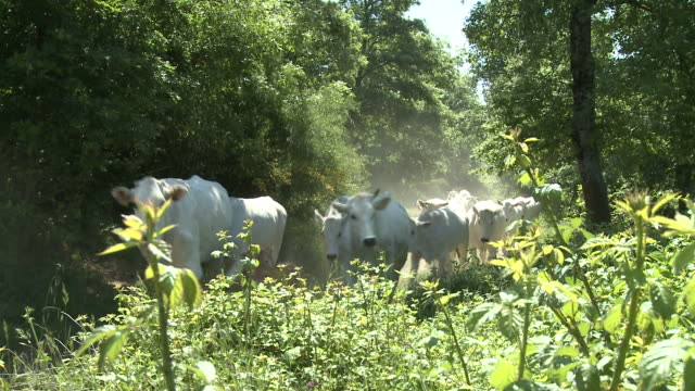 herd of white cows moving through a wood - herd stock videos & royalty-free footage