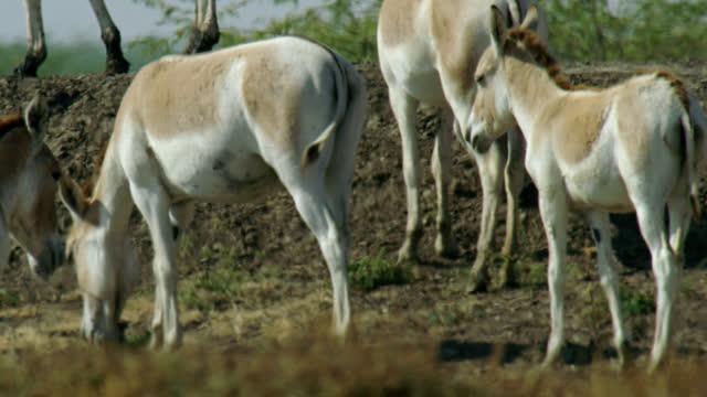 herd of wild ass grazing - medium close up - växtätare bildbanksvideor och videomaterial från bakom kulisserna