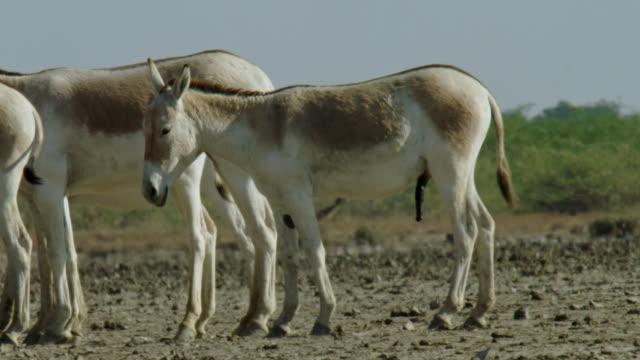herd of wild ass standing - mid shot - 子馬点の映像素材/bロール