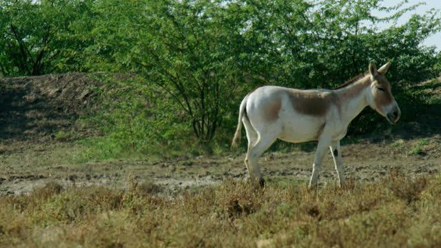 herd of wild ass walking away - midshot - herbivorous stock videos & royalty-free footage