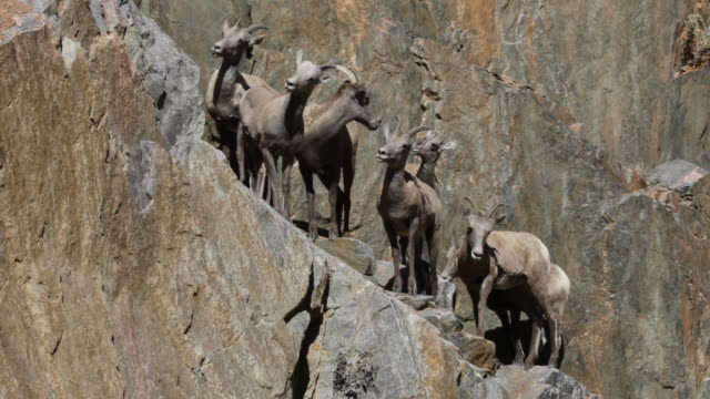 herd of wild bighorn sheep on cliff face, colorado - sheep stock videos & royalty-free footage