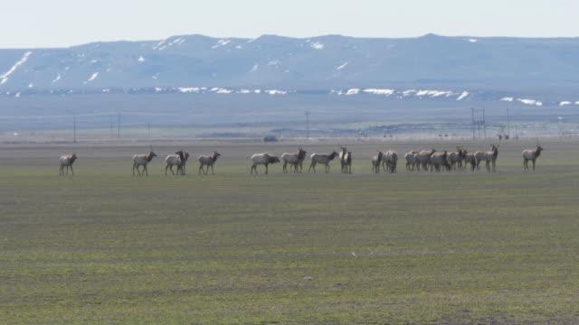 Herd of wild elk in field near mountain