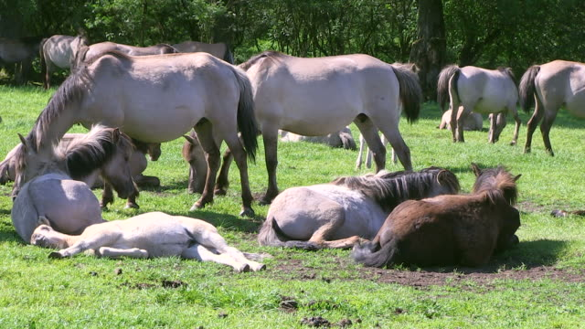 ms herd of wild horses at meerfelder bruch / dulmen, north rhine westphalia, germany - 横たわる点の映像素材/bロール