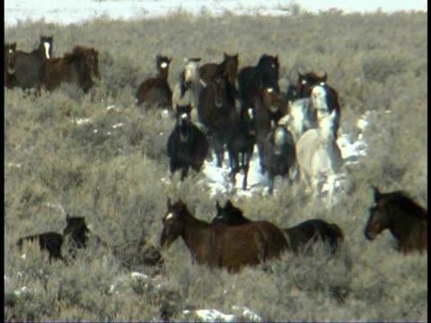vidéos et rushes de ms, pan, ha, herd of wild horses in field, wyoming, usa - groupe moyen d'animaux